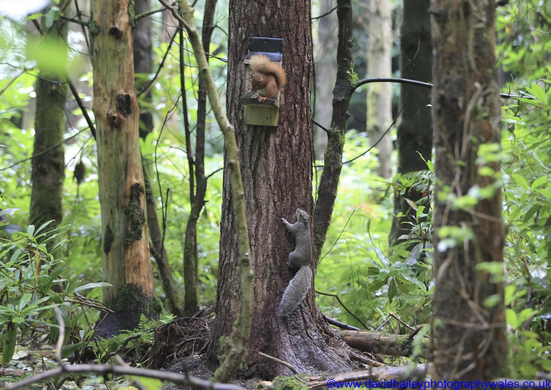 Gwynedd Red & Grey squirrel